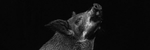 Black and white portrait of a small, domestic pig looking up. Black background