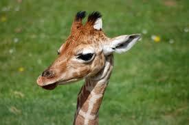 baby giraffe head