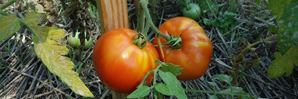 ripe tomatoes in a garden